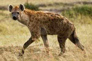 Somalia's Islamist rebels declare hyena meat halal