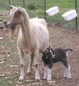 mamma e capretta