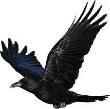 rabe schwarz
