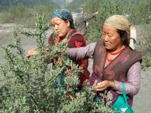 Landfrauen Thini ernten Sanddornblaetter 2